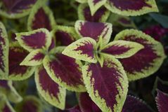 Coleus colorful foliage. Multicolored leaves of coleus plants Royalty Free Stock Photography