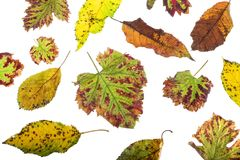 Multicolored scattered leaves. Colorful autumn leaves collection  on white background Stock Images