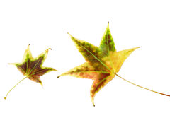 Multicolored  leaves  isolated Royalty Free Stock Image