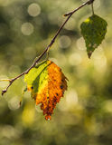 Multicolored leaves of a tree Stock Photos