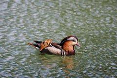 Mandarin duck in profile, Lérida royalty free stock images