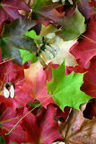 Multicolored Maple Leaf Arrangement. On an autumn day, several multicolored maple leaves were arranged together Stock Photos