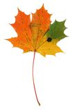 Multicolored maple leaf on pure white background Royalty Free Stock Photos