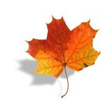 Multicolored Maple Leaf With Shadow Royalty Free Stock Photos