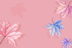 Multicolored maple leaves on a pink background. Blue, purple and pink shades. Creative natural autumn image. royalty free stock image