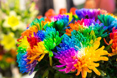 Multicolored marguerites Royalty Free Stock Photo
