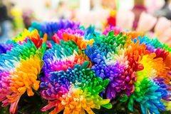 Multicolored marguerites Royalty Free Stock Photography