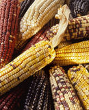 Multicolored Mexican Corn Royalty Free Stock Photos