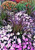 Multicolored mum Display. Potted mums and decorative grasses s in display. Purple, lavender, orange and red with purple grass.  For use in Fall, Harvest or Stock Photography