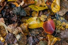 Multicolored natte bladeren na een regen De herfst het melken Dalingen van water op de bladeren Mooie achtergrond van bladeren  Stock Afbeeldingen