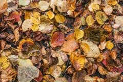 Multicolored natte bladeren na een regen De herfst het melken Dalingen van water op de bladeren Mooie achtergrond van bladeren  Stock Fotografie