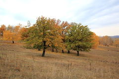 Multicolored oaks Royalty Free Stock Image