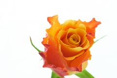 Multicolored orange rose isolated. Multicolored orange and red rose isolated on wihte background royalty free stock images