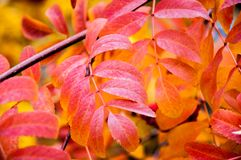 Multicolored paint autumn Rowan stock photo