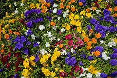 Multicolored pansies. Multicolored (white, yellow, blue, red) pansies Stock Photos