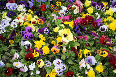 Multicolored pansies. Beautiful meadow with multicolor pansies Royalty Free Stock Images