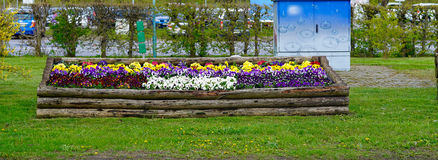 Multicolored pansies Stock Images