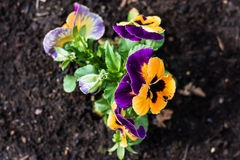Multicolored pansies in the garden. Stock Photo