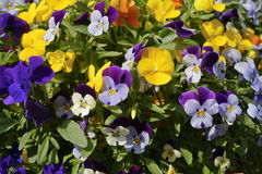 Multicolored pansies Stock Photo