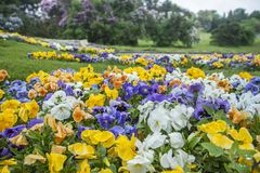 Multicolored pansies or violets in the garden. White, blue, yellow and orange violets on a flower bed in the park. stock photo