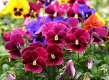 Multicolored pansy Royalty Free Stock Images