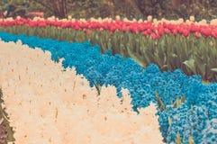 Multicolored park van de de lentebloem van het hyacintbloembed Stock Afbeelding