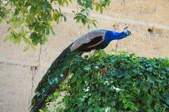 Multicolored pauw op een wijnstok, Castell del Remei, Lleida royalty-vrije stock foto's