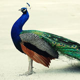 Multicolored peacock Royalty Free Stock Images