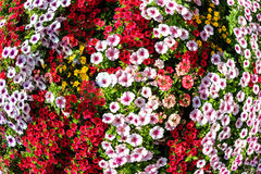 Multicolored Petunia flowers Royalty Free Stock Photography