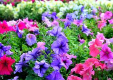 Multicolored petunia flowers grow in a flowerbed, sunlight, bloom, summer stock photography