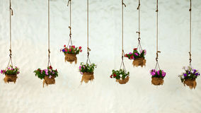 Multicolored petunias in the background of a white wall Stock Images