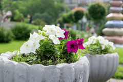 Multicolored petunias Stock Photography