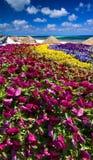 Petunias on the Beach Stock Image