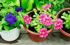 Multicolored petunias in pots Royalty Free Stock Image