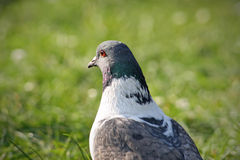 Multicolored pigeon. Pigeon with green grass in the background photographed from an unusual point of view Stock Image