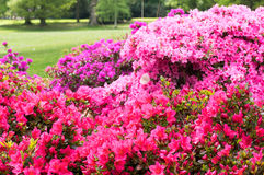 Multicolored Pink border flowers. Stock Image