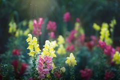 Hyacinths in a magical garden. Multicolored pink, yellow and magenta hyacinths in a romantic, colorful, magical garden with fairy dust in the sun Royalty Free Stock Photography