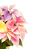 Multicolored Poinsettia Stock Photo