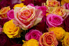 Multicolored roseы close up Royalty Free Stock Images