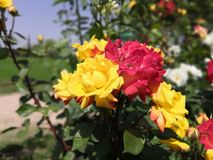 Multicolored rose flowers on a same branch yellow and red. Multicolored rose flowers same branch yellow cross pollination green flora greenery garden beautiful stock photography
