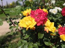 Multicolored rose flowers on a same branch yellow and red. Multicolored rose flowers same branch yellow cross pollination green flora greenery garden beautiful stock images