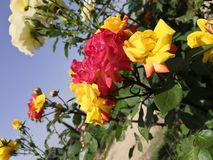 Multicolored rose flowers on a same branch yellow and red. Multicolored rose flowers same branch yellow cross pollination green flora greenery garden beautiful stock photos