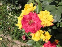 Multicolored rose flowers on a same branch yellow and red. Multicolored rose flowers same branch yellow cross pollination green flora greenery garden beautiful stock image