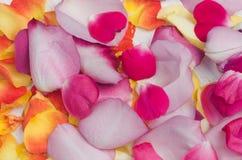 Multicolored rose petals Stock Image