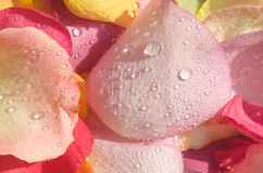 Multicolored rose petals Stock Photography
