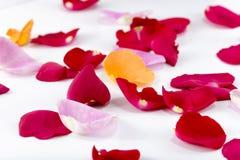 Multicolored Rose Petals Stock Photos
