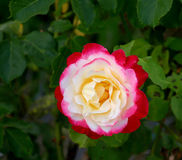 Multicolored Rose Stock Photo