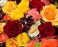 Multicolored roses Stock Photos