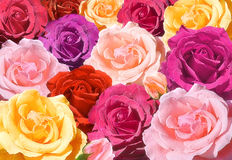Multicolored roses closeup Stock Images