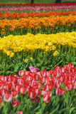 Multicolored Rows of Flowers Stock Photo